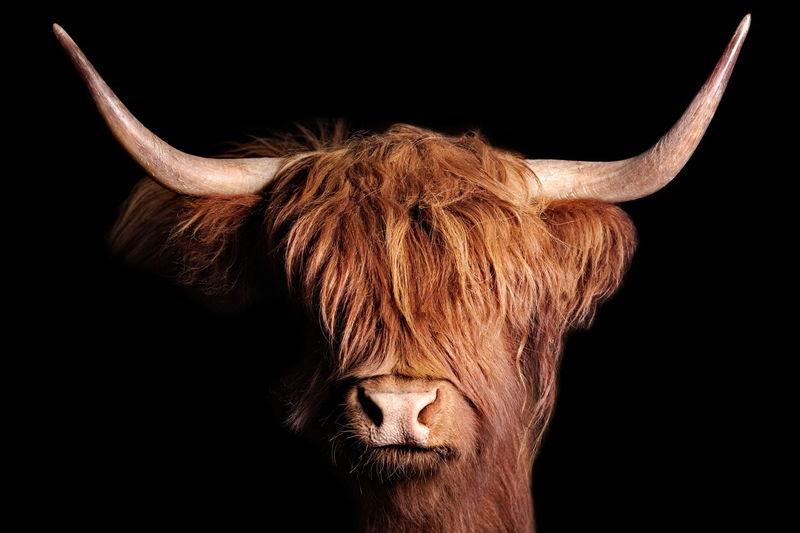 Animal Animal Themes Horned Highland Cattle Cow Beef Highlander Animal Nose Hair Black Background