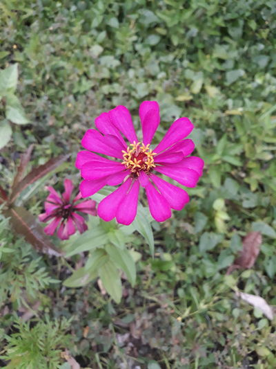 EyeemPhilippines Flower Head Zinnia  Flower Pink Color Leaf Petal Eastern Purple Coneflower High Angle View Close-up Blooming