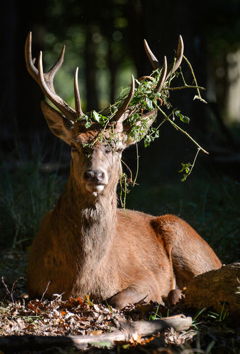Stag Relaxing On Field