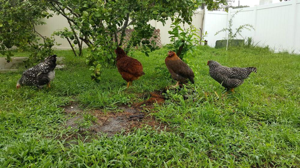 Backyard Chickens Urban Chickens Silver Laced Wyandotte Rhode Island Red Plymouth Barred Rock Wellsummer My Chicken My Little Farm Urban Farming Urban Farmer