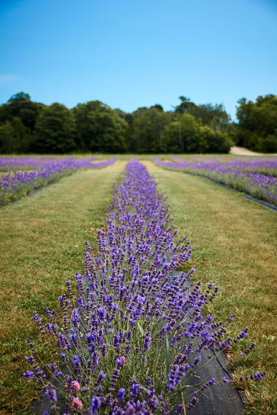 Beauty In Nature Blooming Field Flower Freshness Growing Growth Lavender Nature No People Outdoors Plant Purple Relaxing Moments Summer Wildflower