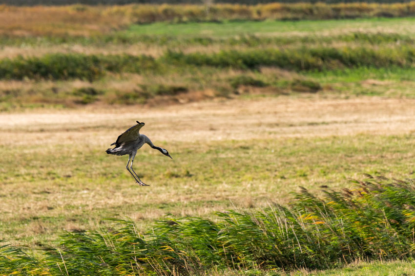 Landscape Autumn Outdoors One Animal Crane Cranes Crane - Bird Alight Arrival Reed Bird Birds Bird Watching Nature Beauty In Nature Wildlife Photography Animal Bird Grass Animal Themes Spread Wings Flight Flapping Animal Wing Flying Grass Area Migrating