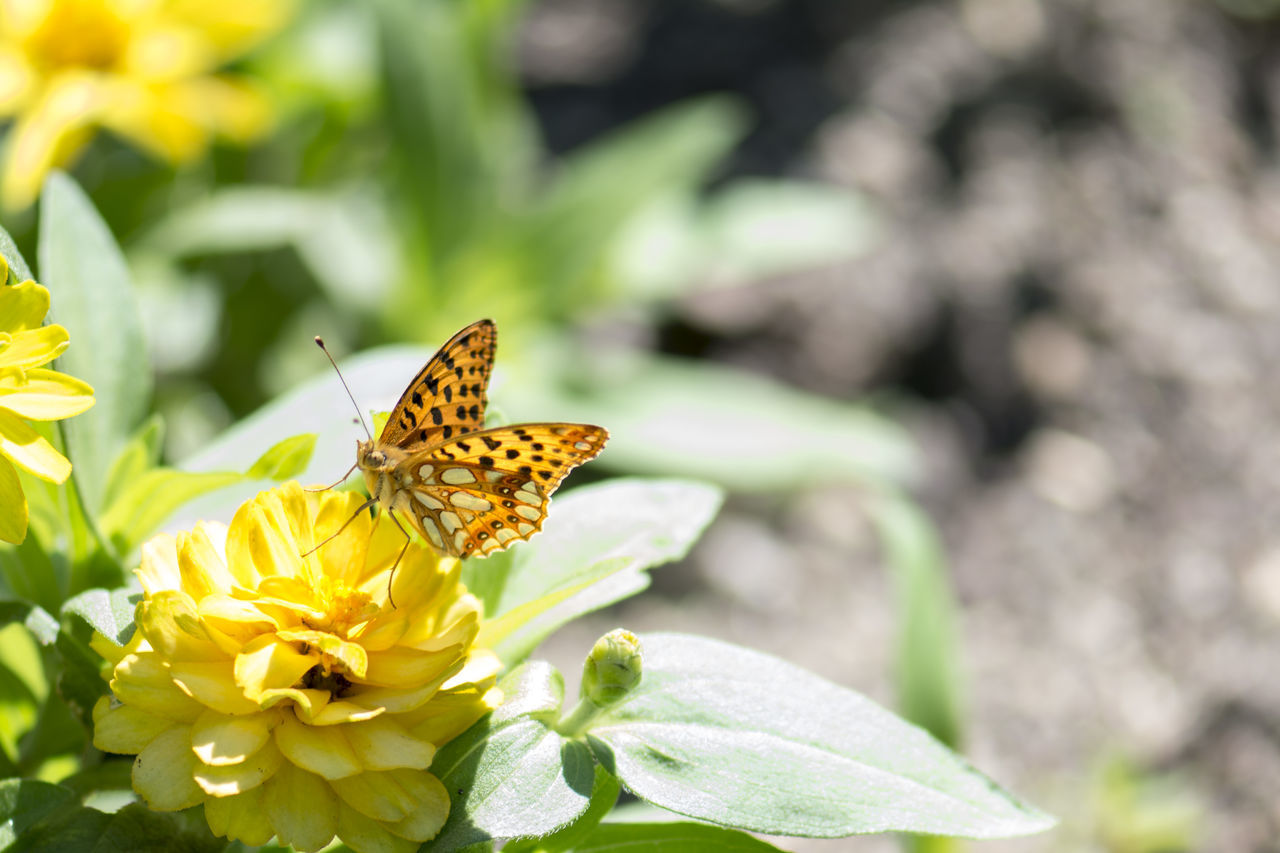 insect, animals in the wild, one animal, flower, animal themes, nature, beauty in nature, no people, plant, butterfly - insect, animal wildlife, outdoors, day, freshness, close-up, fragility, leaf, flower head, growth, yellow, pollination, perching