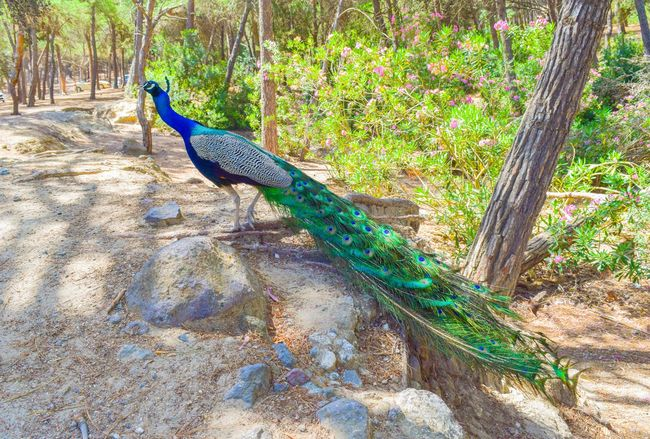 Beautiful peacock in Plaka Forest, Kos, Greece Feathers Green Nature Animal Themes Animal Wildlife Animals In The Wild Beauty In Nature Bird Blue Close-up Day Feather  Growth Lighty Male Nature No People One Animal Outdoors Park Peacock Peafowl Perching Tree Wildlife