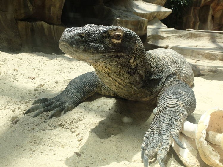save nature Animal Themes Fauna And Flora Giant Lizzard Indonesia_photography Komodo Dragon Lizard Nature Nature_collection No People One Animal Reptile Wildlife Wildlife Photography