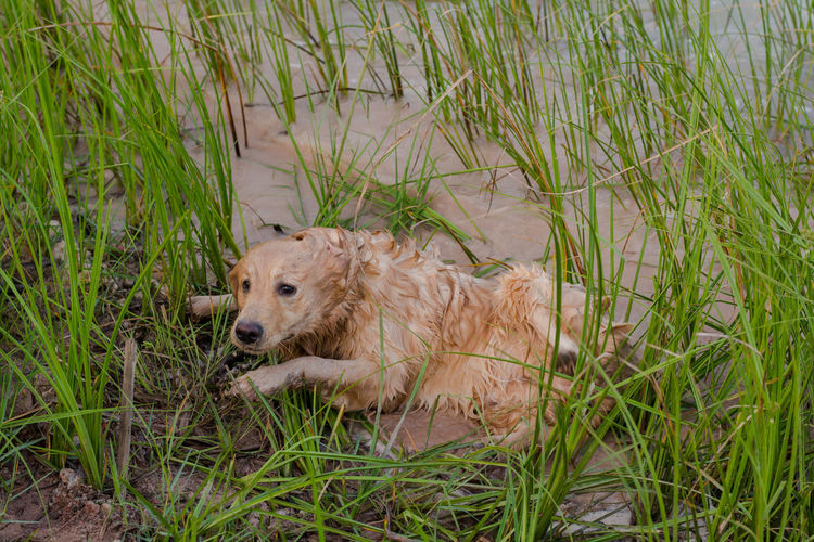 happy, muddy, and wet golden retriever in the outdoors Adventure Animal Ball Cooling  Countryside Cute Dirt Dirty Dog Domestic Forest Fun Golden Happy Heat Hike Look Mammal Messy Mud Muddy Nature Outdoor Outdoors Outside Park Paws Pet Play Playful Playing Portrait Puddle Pure Retriever Road Sitting Vertical Water Wet Yellow One Animal Grass Plant Animal Themes Day Relaxation Pets
