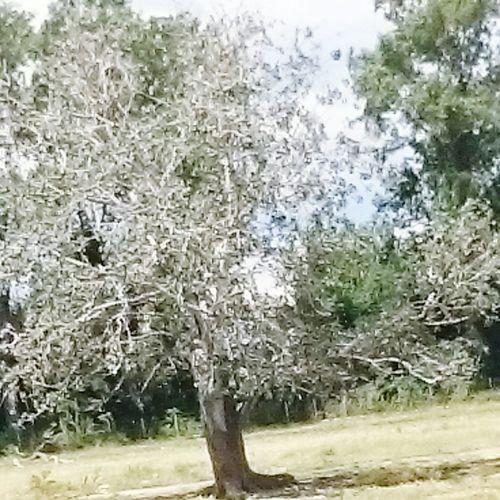 Magnifique chêne blanc