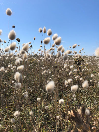 Close-up of white flowering plants on field against clear sky