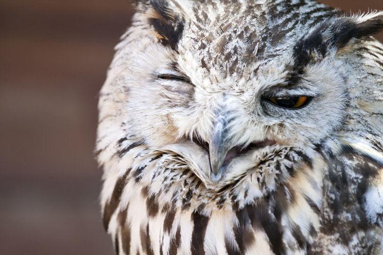 Close-up of the head of a sleepy owl