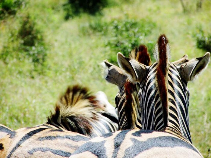 Animal Themes Mammal Animals In The Wild Day Nature Outdoors Animal Wildlife Field Focus On Foreground No People One Animal Safari Animals Animal Markings Zebra Grass Domestic Animals Close-up