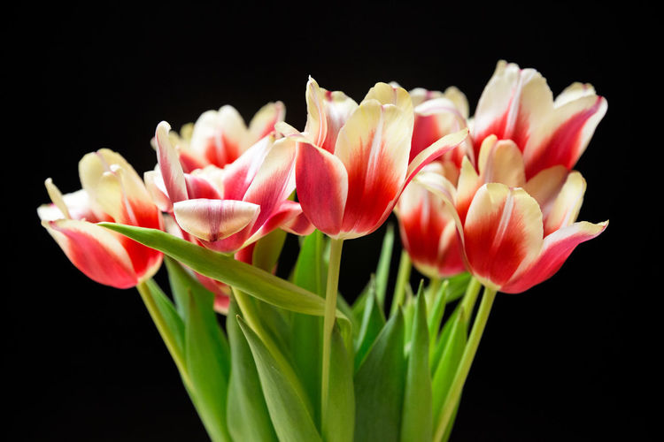 A Bunch Of Flowers Birthday Flowers Black Background Blooming Blossom Blossoms  Botany Flower Heads Fragility In Bloom Petal Red Tulips Spring Springtime Tulips Colour Of Life