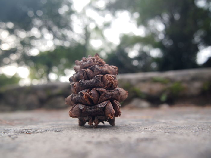 Close-up of pine cone on concrete slab