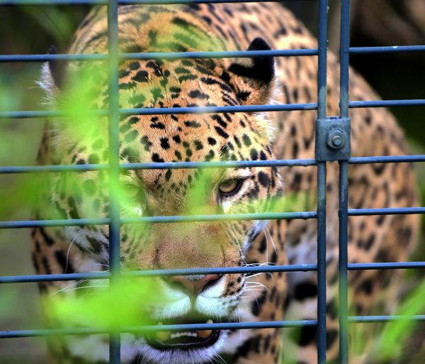 Portrait of cat seen through metal fence at zoo