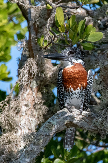 Giant Kingfisher Birds Of Africa Birds Of EyeEm  EyeEm Nature Lover Kingfisher Animal Animal Themes Animal Wildlife Animals In The Wild Bird Branch Close-up Day Focus On Foreground Giant Kingfisher Nature No People Outdoors Perching Plant Tree Trunk
