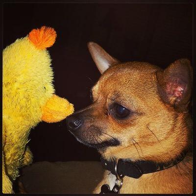 Puppy duck stare down Dailyzigga Furrrrrocious Woofbuzzsgirlfriend