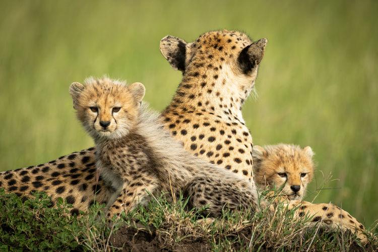 Cheetah family sitting on land