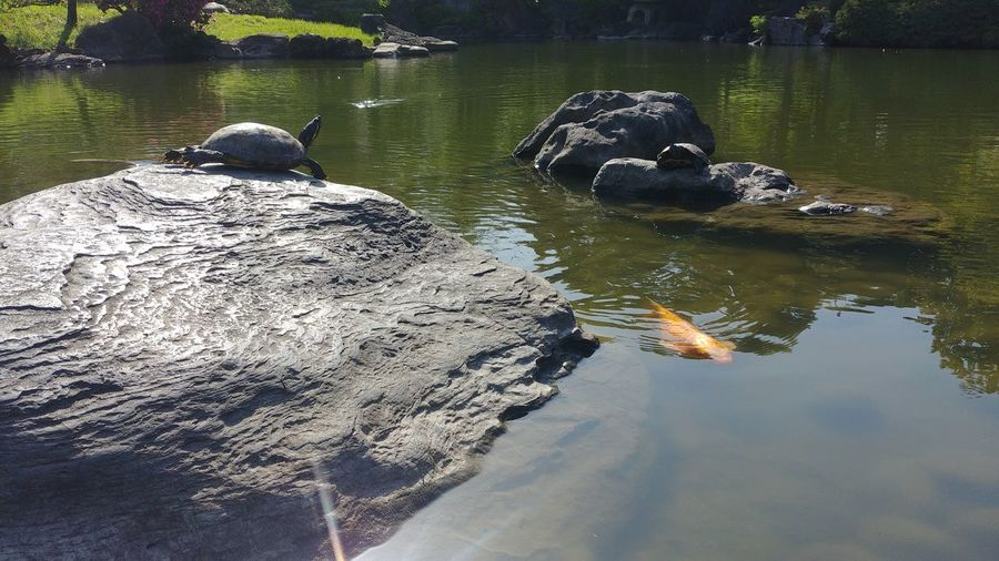 tanning turtle Tokyo Sumida Japan Garden Pond Fish Turtle Reptile Alligator Swimming Tortoise UnderSea Tortoise Shell Lake