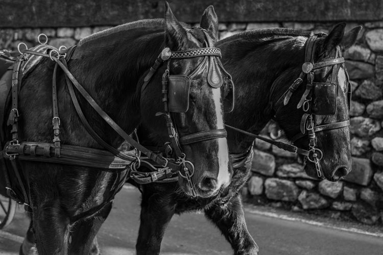 #EyeEmNewHere #blackandwhite #horse #horses Animal Themes Close-up Domestic Animals Horse Cart Livestock Mammal Transportation