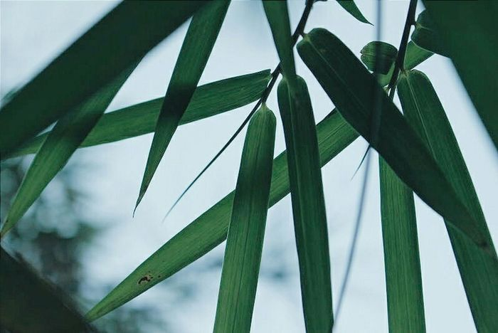 Green Green Leaves Huizhou Learn & Shoot: Simplicity Natural Beauty PhonePhotography Nature_collection VSCO Edit Photo Eyemphotography 平海 惠州 Bamboo Leaf Bamboo Tree... Bamboo