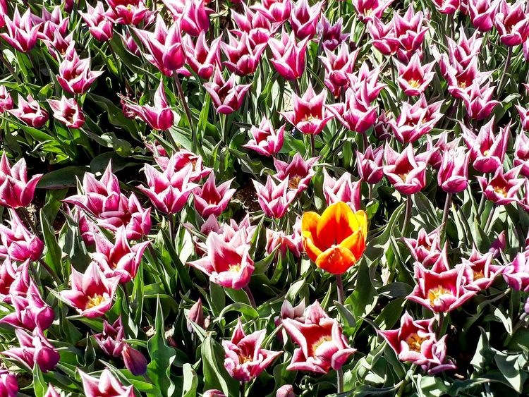 Resist Flowers Orange Color Orange Flower p Pink Flower Spring Pepole EeYem Best Shots l Love To Take Photos ❤ White White Flowers Green Tulips🌷 Turkey