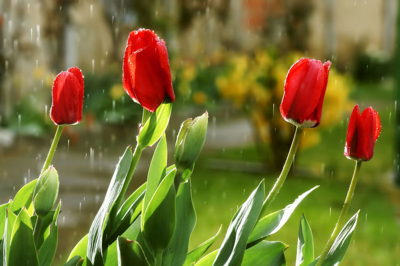 tulips on a rainy day in spring Rain Tulips Beauty In Nature Close-up Flower Flower Head Flowering Plant Focus On Foreground Fragility Freshness Green Color Growth No People Petal Plant Rain And Flower Rain Day Red Tulip Tulips Flowers Tulips🌷 Vulnerability