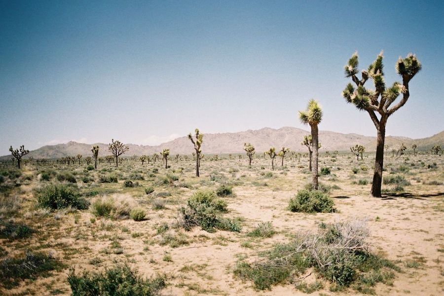 Analogue Photography California Ishootfilm Joshua Tree National Park USA Arid Climate Beauty In Nature Clear Sky Day Desert Film Photography Filmisnotdead Landscape Mountain Nature No People Non-urban Scene Outdoors Plant Remote Saguaro Cactus Scenics Tranquil Scene Tranquility Tree