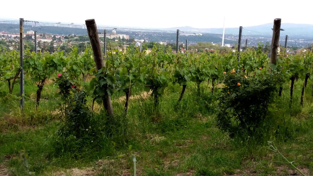 Wine Moments Austriaholidays May 2016 For My Friends 😍😘🎁 Tranquility Colors Of Nature Beauty In Nature Perfect Day With A Friend Vine Austriaholidays Colors Of Life Natural Beauty Love That View Naturelovers Sunny Day 🌞