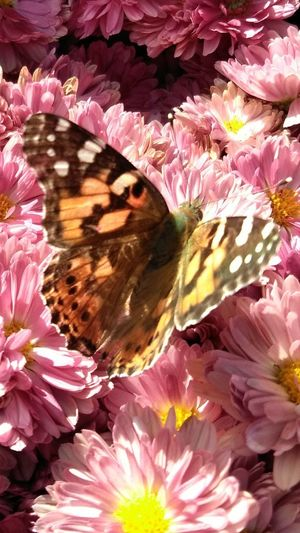 Butterfly Flower Pink Color Petal Fragility Flower Head Beauty In Nature Nature Full Frame Plant No People Pattern Close-up Backgrounds Day Outdoors Multi Colored Freshness