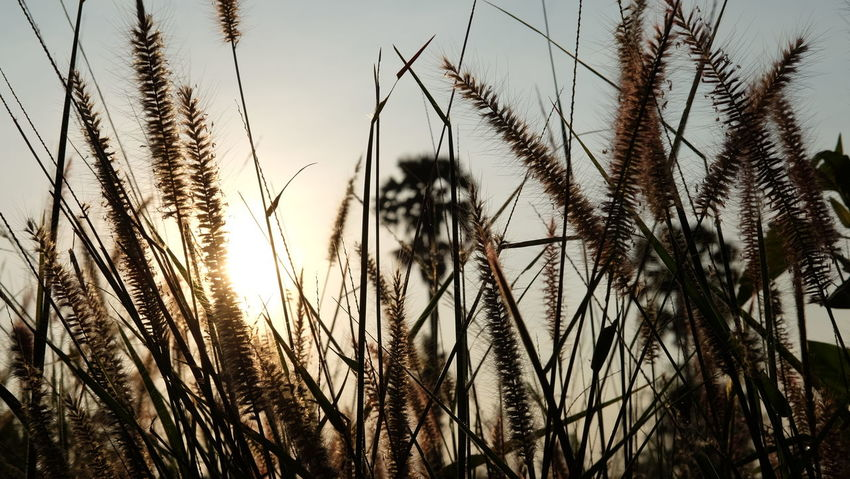 Good Morning Urban. Agriculture Beauty In Nature Cereal Plant Close-up Day Erly Morning Field Freshness Grass Growth Landscape Nature No People Outdoors Plant Rural Scene Scenics Shillouettes And Sunshine Sky Suburban Suburban Landscape Tranquility