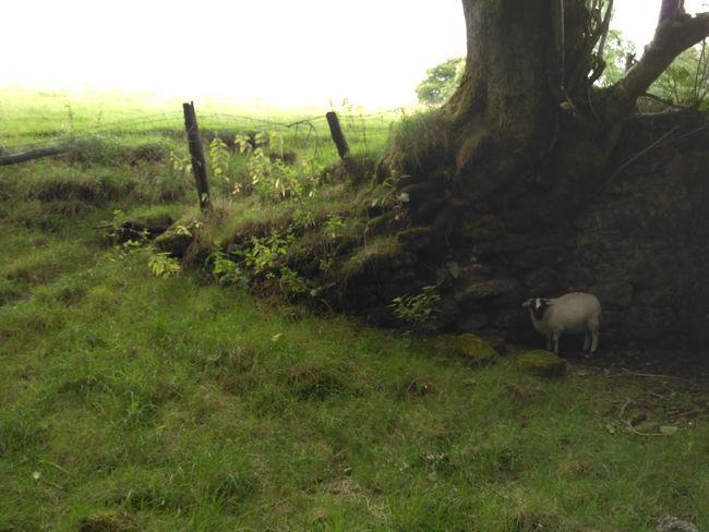 Lost Sheep Sheep Grass Trees Tree Field Tree Rural Scene Field Animal Themes Grass Landscape