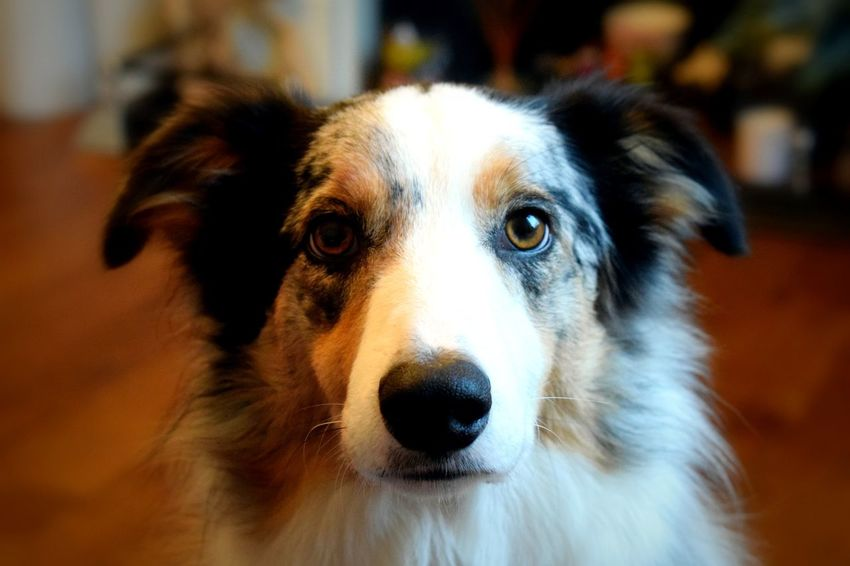 Enjoying playing with my new Nikon 5300 Nikon 5300 Nikonphotographer Dog Pets Looking At Camera Portrait One Animal Domestic Animals Animal Body Part Animal Head  Animal Themes Mammal No People Close-up Day Indoors  Border Collie Wooden Floor Be. Ready.