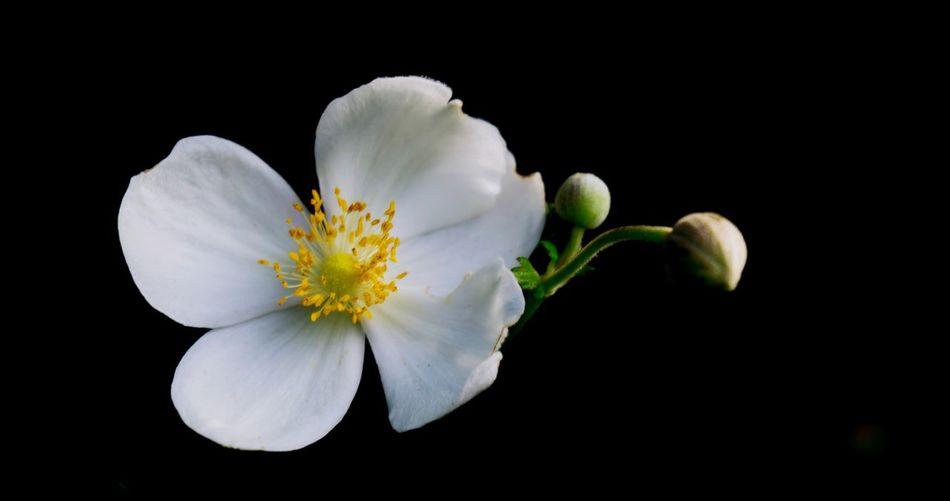 Flower Head Black Background Flower Studio Shot Petal Blossom Close-up Plant