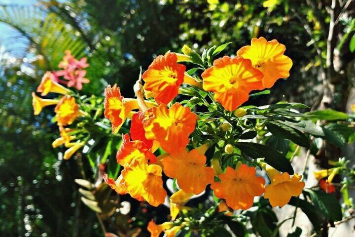 Plant EyeEm Gallery EyeEm Nature Bealtifulday Fowers Love Sun Orange Color Orange MyPhotography EyeEm Nature Lover Eyemphotography Photo Photography Yellow Lovephotography  Brasilian Laranja Verde