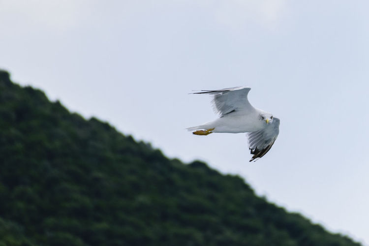 View of seagull flying