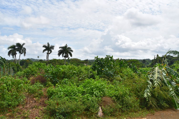 Plant Tree Palm Tree Cloud - Sky Sky Tropical Climate Growth Scenics - Nature Beauty In Nature Nature Land Tranquil Scene Tranquility Green Color Day Landscape No People Field Environment Outdoors Coconut Palm Tree Viñales Viñales Valley, Cuba Cuba Cuba Collection