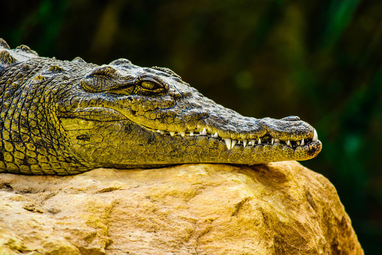 Close-Up Of Crocodile Relaxing On Rock