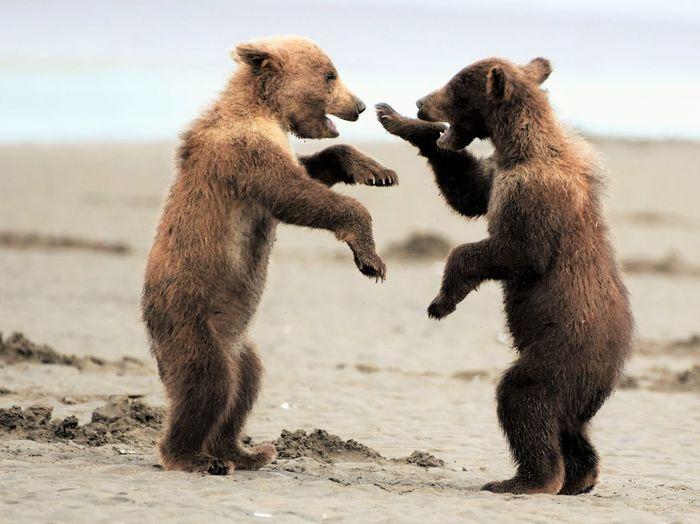 Bears fighting on field against sky