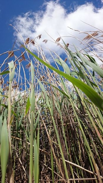 Agriculture Bank Beauty In Nature Cloud Field Frog Perspective Grass Growing Growth Low Angle Low Angle View Nature Nature Nature Photography Nature_collection Naturelovers Plant Reed Reeds Riverside Riverside Photography Rural Scene Sky