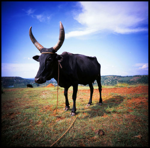 Holy Cow 120 Mm Adventure African Cow African Sky Agriculture Bull Cow And Sky East Africa Holy Cow Kuh Mpigi Nature No People Outdoors Slide Slide Photography The Great Outdoors - 2017 EyeEm Awards Travel Uganda  Vignette