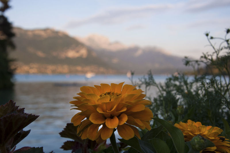 Annecy France Flower Flowering Plant Plant Beauty In Nature Nature Scenics - Nature Inflorescence Focus On Foreground Lake EyeEm Best Shots EyeEm Nature Lover EyeEm Best Edits