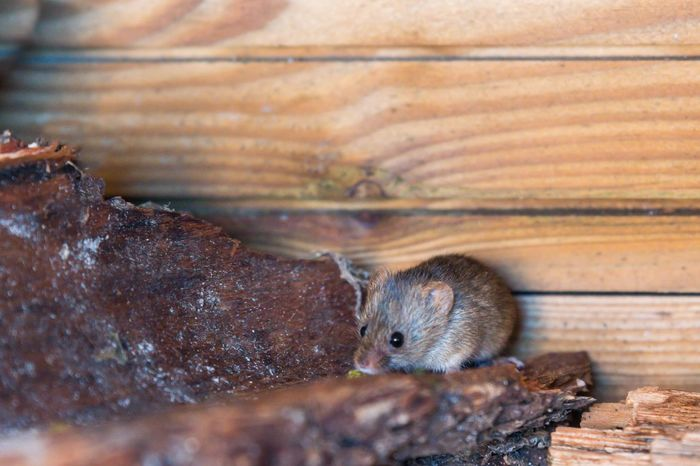 mein Untermieter 🐭😍 Field Mouse Feldmaus Wildlife Mouse One Animal Animals In The Wild Animal Wildlife Rodent Animal Themes No People Day Mammal Nature Close-up Outdoors