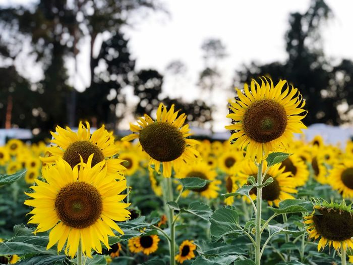 Sunflower garden Yellow Flower Flowering Plant Plant Growth Flower Head Freshness Beauty In Nature Focus On Foreground Nature Inflorescence Fragility Close-up Land Vulnerability  No People Sunflower Petal Pollen Field
