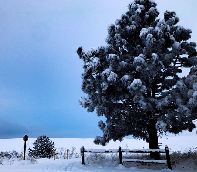 Freezing PNWonderland Wallawallawashington PNW Snow Winter Cold Temperature Nature Beauty In Nature Weather Tree