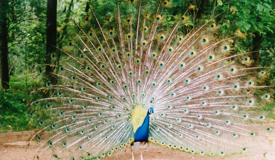 Male Peacock Peacock Peacock Feather Bird Fanned Out One Animal Animal Wildlife Feather  Showing Animal Themes Animals In The Wild Nature Vanity Beauty In Nature Multi Colored No People Outdoors Day Close-upfilm photography