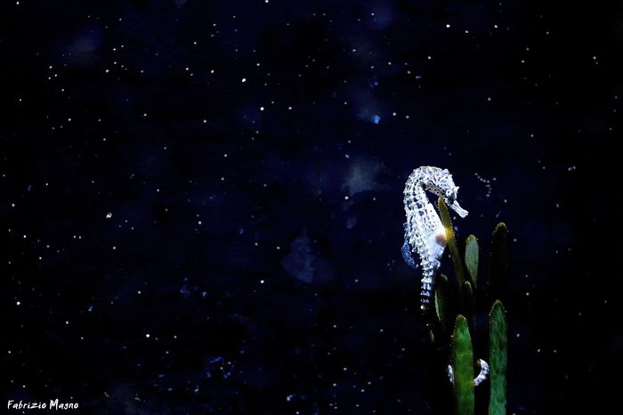 Glow seahorse Seahorse Acquarium Water Sea Photooftheday Igcentric_nature Blue Art Seafish Underwater Starfish  Nature Fish Stars Amazing Fun Love