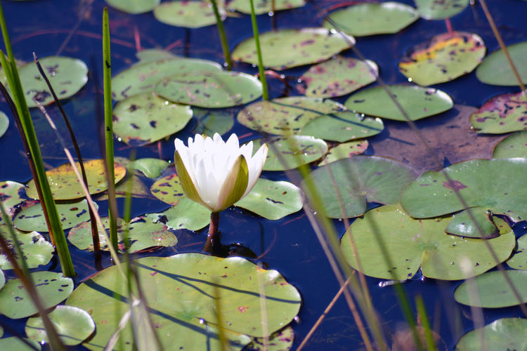 Beauty In Nature Blossom Close-up Day Floating On Water Flower Flower Head Fragility Freshness Green Color Growing Growth Lake Leaf Lily Pad Lotus Lotus Water Lily Nature Petal Plant Pond Single Flower Springtime Water Water Lily