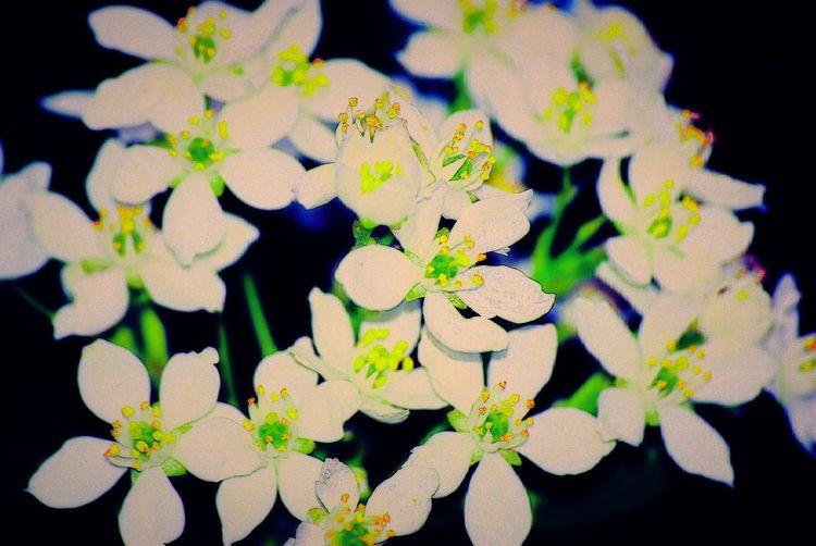 Colours Of Summer White And Green Flower Head Summertime Sunmer Flowers Flower Power Freshness Country Living Sunshine Makes Everything Better July In My Garden For My Eyeem Friends