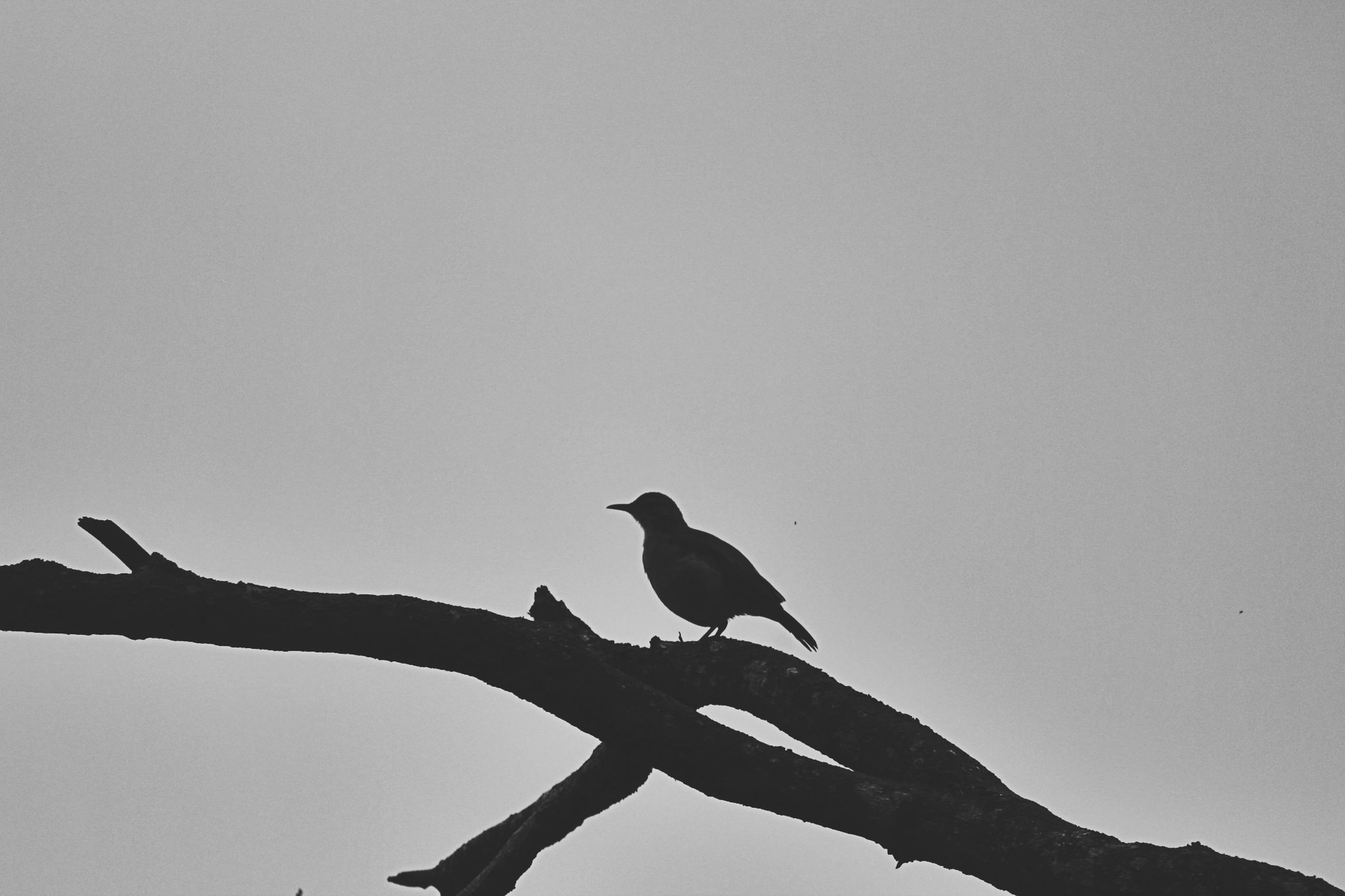 bird, animal wildlife, animals in the wild, vertebrate, animal, animal themes, perching, sky, one animal, copy space, clear sky, low angle view, branch, no people, nature, tree, silhouette, day, outdoors, plant
