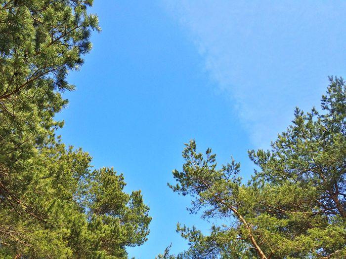 Clear Sky Sky Sky And Clouds Tree Forest Minsk Minsk City Tree Top