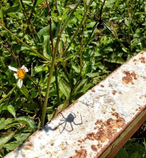 Animal Themes One Animal Insect Nature Close-up No People Green Color Outdoors Spider Shadow Arachnid Photography Poison Spider Araña En Mi Jardín Araña Venenosa Y Su Sombra